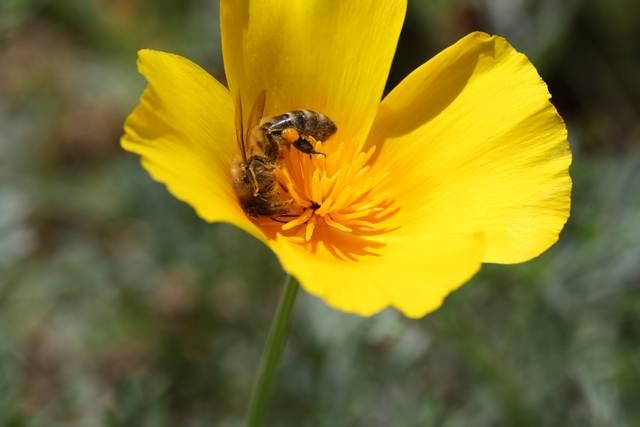 abeille dans fleur
